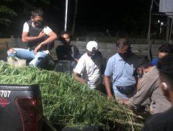 Ladang Ganja Milik Warga Ditemukan Polisi di Kampung Sangka Distrik Arso Timur Papua