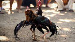 Judi Sabung Ayam Digrebek Petugas di Bulu Tanah Lapri, 3 Pelaku Diamankan